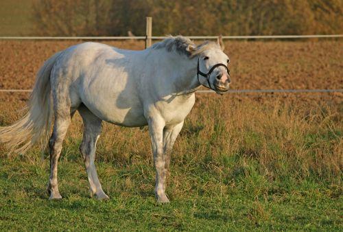arklys,ganykla,jungtis,paddock,šypsnys,balta,ganyti,vakaro saulė,gyvūnų pasaulis,pferdeportrait,vakarinė šviesa,pieva,abendstimmung,kailis,uodega,Reiterhof,balno žirgas,apleisti,atrodo,atrodo,kraštovaizdis,kaimas,Žemdirbystė