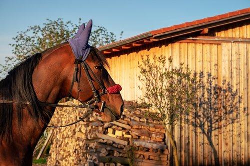 arklys, rudi, arklys galva, gyvūnas, eržilas, gyvulininkystė, žinduolis, galva, karčiai, rudi arklys, pferdeportrait, Gyvūnijos pasaulyje, pobūdį, Reiterhof