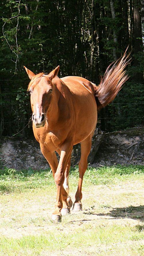 arklys,rait,trotteris,gyvūnai,Jodinėjimas arkliu,pre,arkliai
