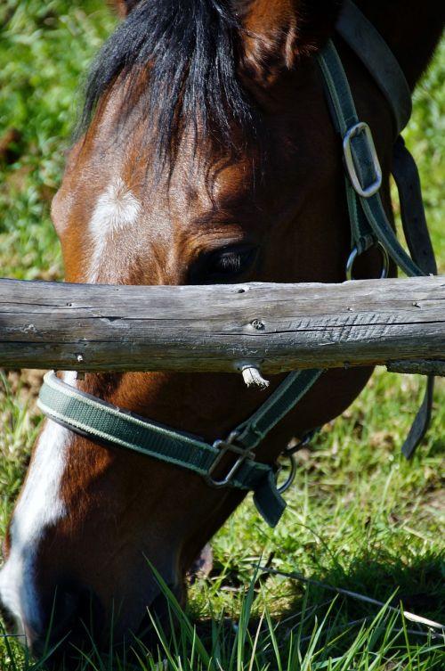 arklys, horsehead, valgymas, ganyti