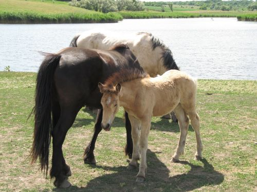 arklys,eržilas,Mare,važiuoti,melding,gyvūnas,ūkis,cicindela