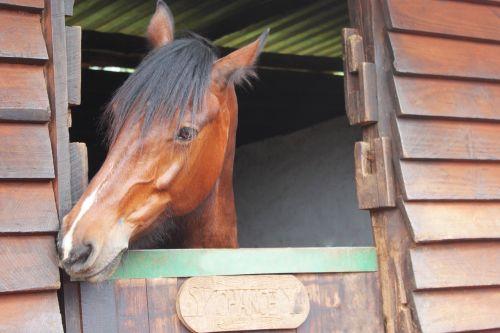 arklys,ruda,juoda,gyvūnas,ūkis,Mare,galva,mielas,tikimybė,stabilus,eržilas