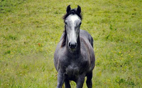 arklys, pilka, hage, vasaros pieva, gyvūnai, jodinėjimas arkliu, žolė, vasara, Laisvas