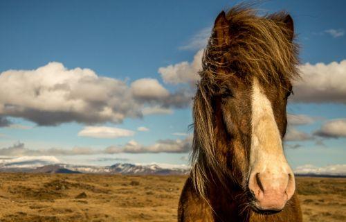 arklys, iceland, portretas