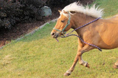arklys,ponis,gyvūnas,ūkis,gamta,mielas,ranča,jodinėjimas,žinduolis,žirgais,Jodinėjimas,kaimas,raitelis,poilsis,arklio galva,Žiurkė,Jodinėjimas arkliu,arklys,arkliai,bėgimas,šokti,gaidžiai