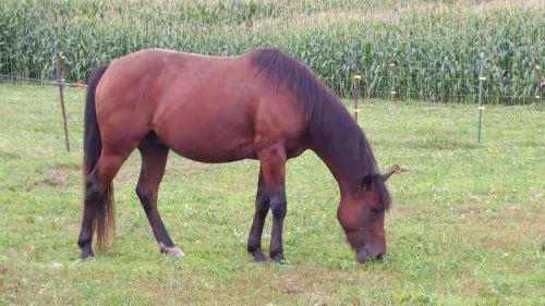 arklys,gyvūnas,ketvirtis arklio,melding