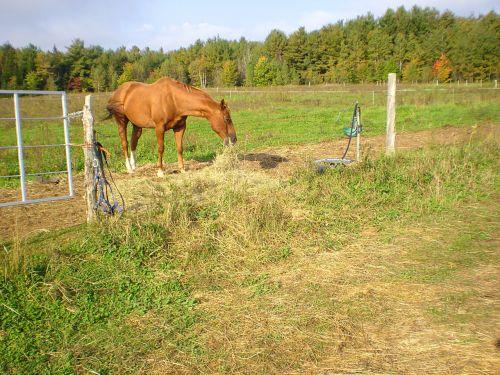 arklys, pieva, valgymas, žirgų valgymas