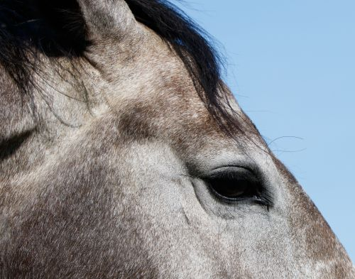 arklys, akis, žirgo akis, Iš arti, detalės, blakstienos, pilka, arkliai, gyvūnas, gražus, Laisvas, viešasis & nbsp, domenas, Arklio akis uždarykite