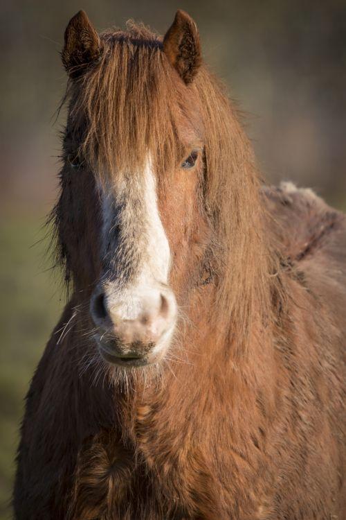 galva, arklys, budrumas, gyvūnas, gyvūnų dalis & nbsp, kūno dalis, gyvūnų akis, gyvūnas & nbsp, galva, gyvūnas & nbsp, krantinė & nbsp, arklys, grožis, ausis, akis, šūvis į galvą, arklių & nbsp, šeima, žirgais, nardymas, žiūri, Burna, nosis, vienas & nbsp, gyvūnas, augintiniai, fotografija, ponis, stabilus, uk, arklio galva