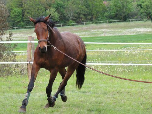 Jodinėjimas arkliu,arklys,Sportas,gyvūnai,dirželis,rait,bai