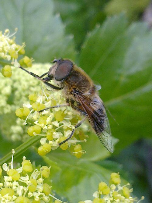horsefly,vabzdžiai,skristi