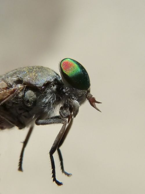 horsefly,jungtinė akis,tabanid,vabzdžių akis,šerti