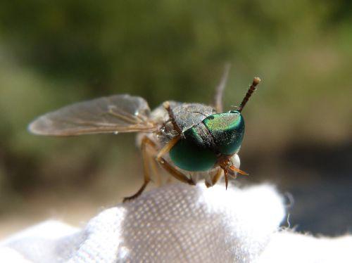 horsefly,akių junginiai,žalios akys,vabzdys,šerti,išsamiai,vabzdžių akis,tabanid