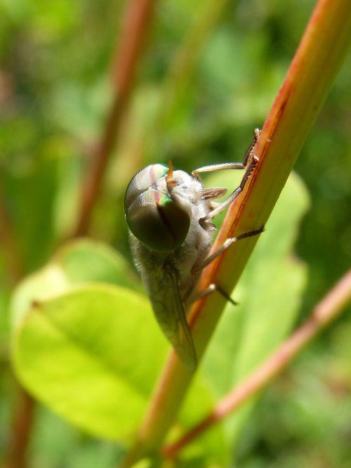 horsefly,akių junginiai,šešiakampiai,tabanid,filialas,žaluma,išsamiai