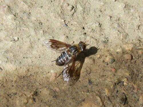 horsefly,botfly,šerti,sparnuotas vabzdys,erzina,nemalonumas