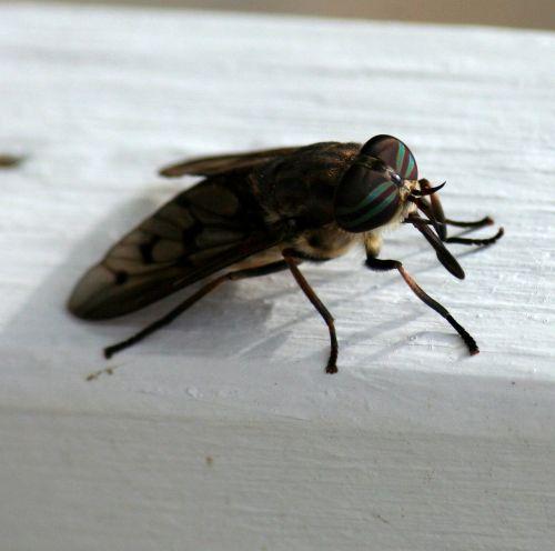 horsefly,vabzdys,kramtyti,kraujo paėmimas,kenkėjas,sparnas,purvinas,nehygienic,biologija,entomologija,šerti,nuodingas,antena,skausmas,nepatogus,vasara