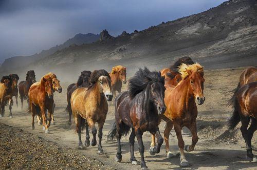 arkliai,paniekimas,gamta,bėgimas,gyvūnas,bandas,Mare,arkliai,judėjimas,stampeding,šokti,šokti,kraštovaizdis