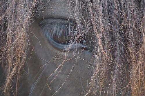 arkliai,Žiurkė,arklio galva,Mare,galva,iceland pony,Islandijos arklys