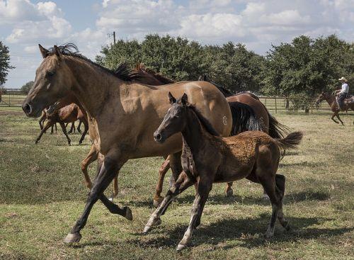 arkliai,Mare,asilas,arkliai,gyvūnas,bėgimas,ranča,ketvirti arkliai,lauke,texas,portretas,usa