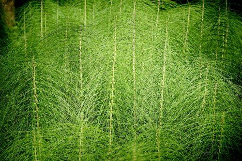 asilas,equisetum,milžiniškas aksesuaras,žalias,miškas,skubėti,miško augalas,miško paklotė,plonas,ilgai,puikus zirgynas,gydymas,vaistinis augalas,flora,gamta,augalas,arklių augalas
