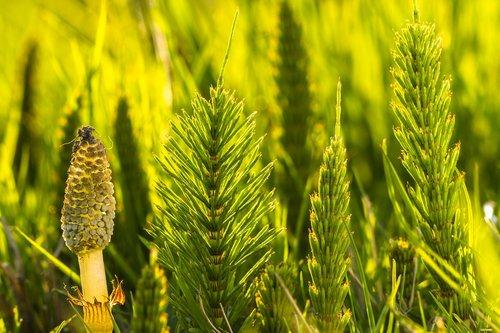 asiūklio, cattail, lauko Asiūklis, žalias