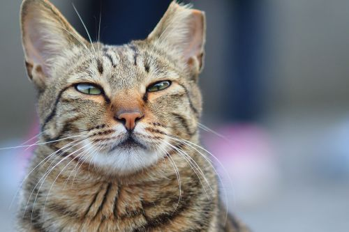 hou urvas,katė,paviršutiniškas vaizdas,akis,Taivanas,barzda
