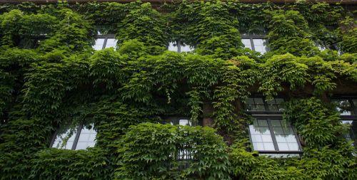 namas,užaugo,langai,vynuogynai,eksterjeras,žalias,architektūra,lapai,fasadas,padengtas