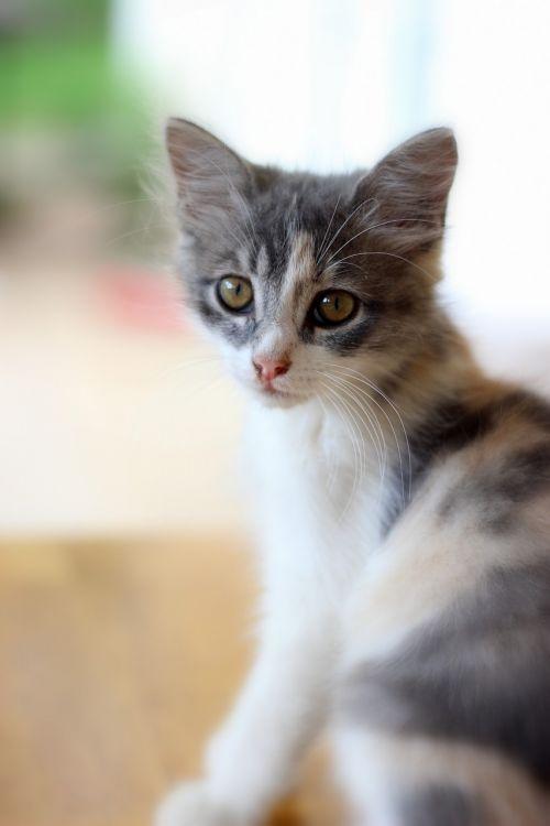 namo katė,katė,naminis gyvūnėlis,naminis katinas,naminis katinas,gyvūnas,kačių,katės akys,mielas