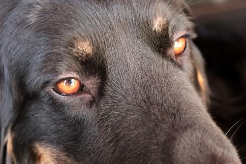 hovawart, šuo, akys, gyvūnas, veidas, juodos spalvos, Šuo vadovas, grynaveislis šuo, augintinė, rudi, Peržiūrėti, nosis, galva, nosies, šuo knyslė, šunų žvilgsnis
