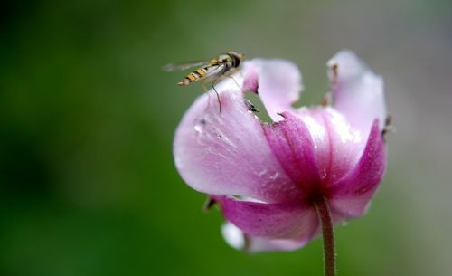 užlipti skristi,gėlių skristi,sirupas,sirupas skristi,gyvūnas,vabzdys,gamta,flora,fauna