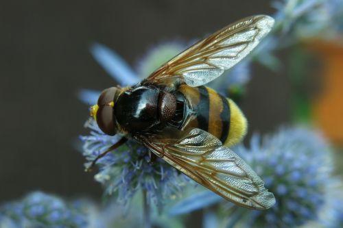 užlipti skristi, Hornet Hoverfly, miško schwebfliege, Humilas plaukiojantis skristi, vabzdys, gamta, skristi, be honoraro mokesčio