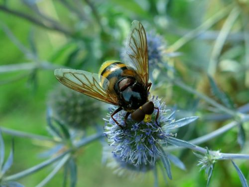 užlipti skristi, Hornet Hoverfly, miško schwebfliege, Humilas plaukiojantis skristi, vabzdys, gamta, skristi, sparnas, be honoraro mokesčio