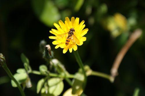 Hoverfly,gėlė,gėlių skristi,sirupas,sirupas skristi,geltona,žiedas,užlipti skristi,vabzdys