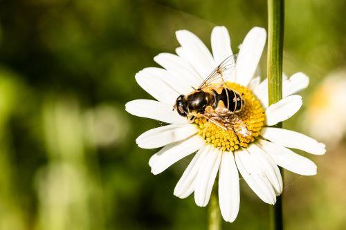 Hoverfly,eristalis tenax,migruojanti bitė,skristi,purvo bičių,ant gėlių sėdynių,rinkti nektarą,marguerite,vabzdys,rinkti žiedadulkes,maitinimas,nektaras,maistas,žiedadulkės,aštraus gėlė,gyvūnai,žiedas,žydėti,surinkti