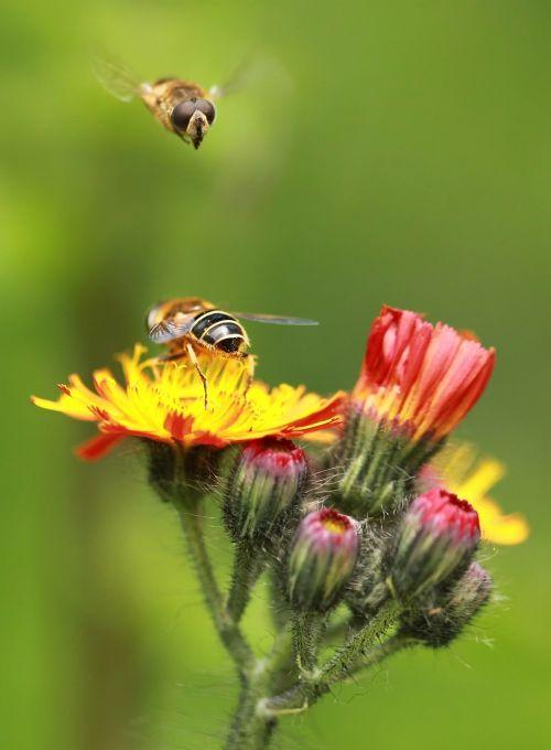 Hoverfly,bičių,makro,gėlė,žiedas,žydėti,vabzdys,augalas,spalva,bičių požiūris,apdulkinimas,Uždaryti,flora,gyvūnų pasaulis,makrofotografija,gyvūnai,makro nuotrauka,saulėtas,geltona,vabzdžių makro,aštraus gėlė,gamta,žydėti,gėlės,gyvūnas,fauna,spalvinga,šviesus