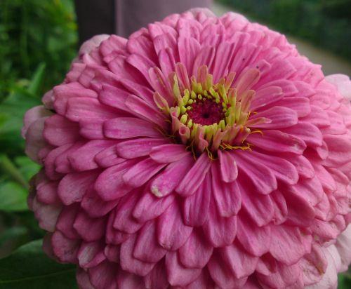 didžiulė gėlė,gėlė,žiedas,žydėti,gamta,augalas,pavasaris,laukinė gėlė