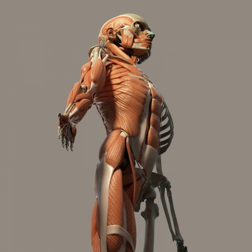 žmogus, kūnas, anatomija, perspektyva, vaizdas, raumenys, kaulai, pilka, fonas, Žmogaus kūnas