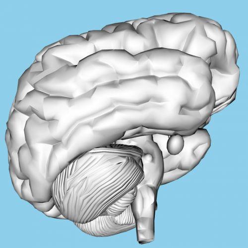 žmogus, smegenys, 3d, skulptūra, izoliuotas, mėlynas, fonas, žmogaus smegenys