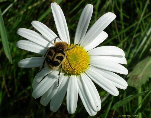 klaida, vabalas, oksėja, Daisy, bičių vabalas ant daržovių