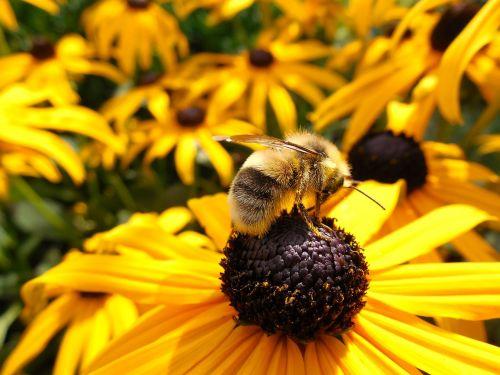 Hummel,bičių,saulė,žiedas,žydėti,gėlė,vabzdys,Uždaryti,makro,vasara,apdulkinimas,gamta,gyvūnas,žydėti,pavasaris,saulėgrąžų laukas,medus,oranžinė,saulės gėlė,surinkti,skristi,pragaras,geltona,spalva,rinkti žiedadulkes,medaus BITĖ,frühlingsanfang,žiedadulkės,augalas,gražus,šiltas,isp,žydėjo,sodas,pistil
