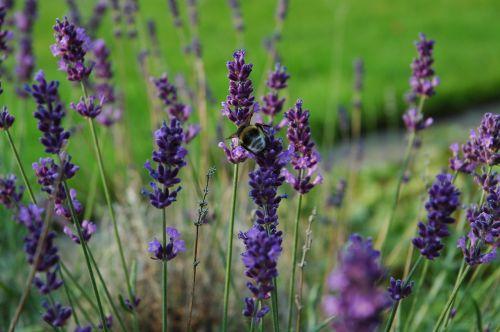 Hummel,levanda,violetinė,sodas,vasara,gyvūnas,vasarą,levandų žiedas,gėlių sodas,siauras lapų levanda,Uždaryti,skraidantys vabzdžiai,apdulkinimas