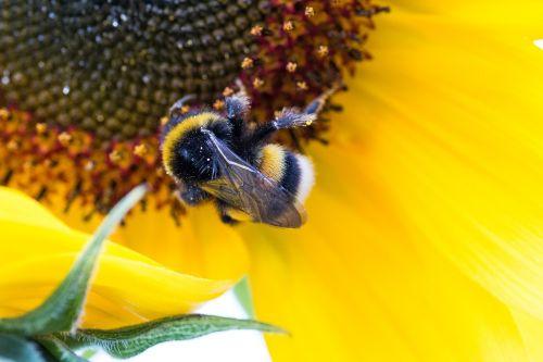 Hummel,saulės gėlė,helianthus annuus,žiedas,žydėti,Uždaryti,makro