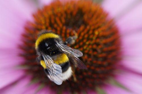 Hummel,augalas,nektaras,rinkti žiedadulkes,rinkti nektarą,vasara,vabzdys,Uždaryti