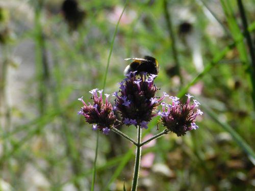 Hummel,ant gėlės,vabzdžių žydėjimas,pabarstyti,gėlė,gamta,žiedas,žydėti,žąsies kamanė,žiedadulkės,rinkti nektarą