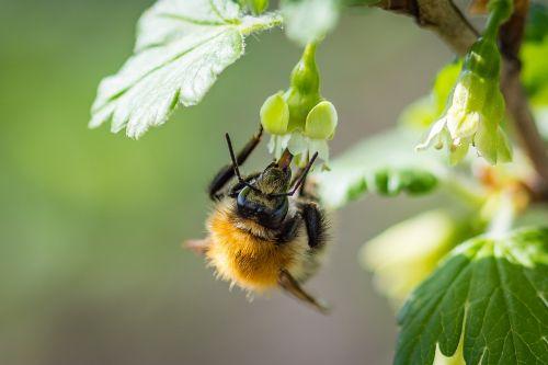 Hummel,acker hummel,žiedas,žydėti,agrastų gėlė,pabarstyti,vabzdys,makro,Uždaryti,nektaras,gamta,apdulkinimas