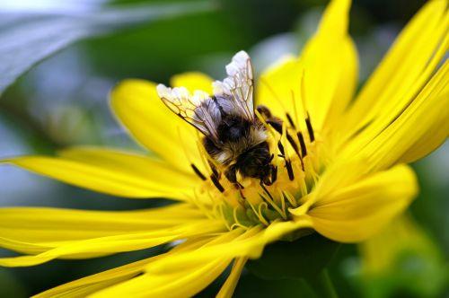 Hummel,gėlė,gamta,vabzdys,žiedas,žydėti,makro,apdulkinimas,žiedadulkės,Uždaryti,vasara,sodas,nektaras,augalas,pavasaris