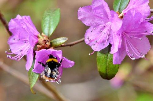 HUMMEL, vabzdys, apdulkinimas, nektaro, žiedas, žydi, žiedadulkės, gėlė, floros, augalų, pobūdį, violetinė, pavasaris, rinkti