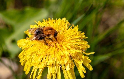 HUMMEL, Bombus, kiaulpienė, paprastoji kiaulpienė, ieškant maisto, bičių, vabzdys, gyvūnas, frühlingsanfang, pobūdį, surinkti nektarą, Iš arti, surinkti žiedadulkes, žiedadulkės, Milžinas, bičių žiedadulkes, žiedas, žydi, nektaras