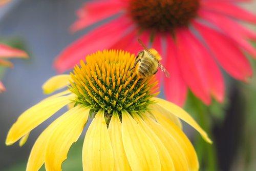 HUMMEL, Acker Hummel, rudenį ir žiemos sodas, Echinacea, apdulkinimas, nektaro, žiedadulkės, vabzdys, žiedas, žydi, vasara