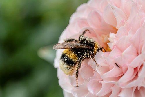 HUMMEL, vabzdys, gėlė, Hymenoptera, Bombus, nektaro, apdulkinimas, žiedadulkės, Plaukų, žiedas, žydi, Dahlia, kryptarum-the Hummel